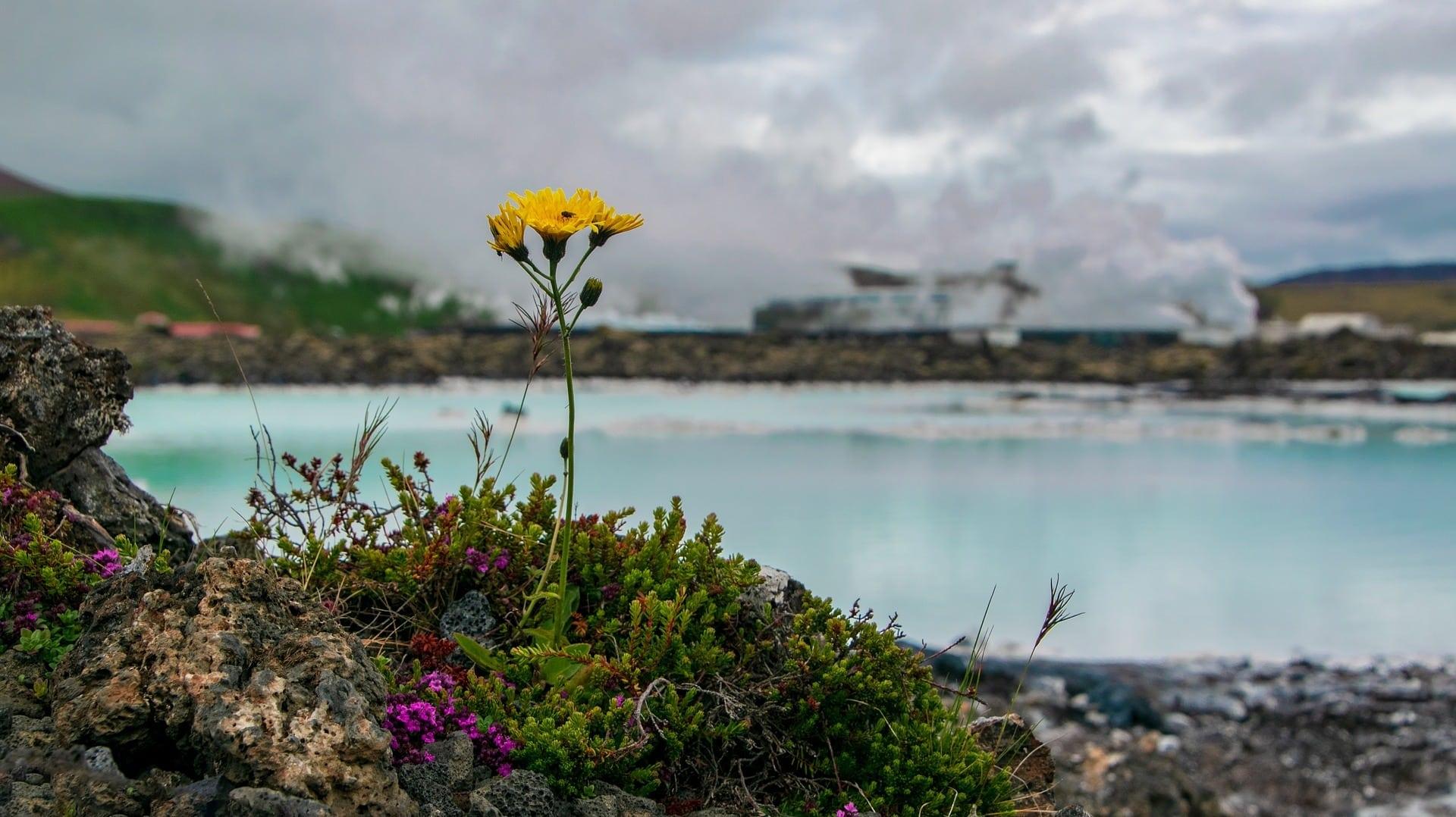 Blume vor blauer Lagune in Island: Die Lagune ist von Menschenhand gebaut.