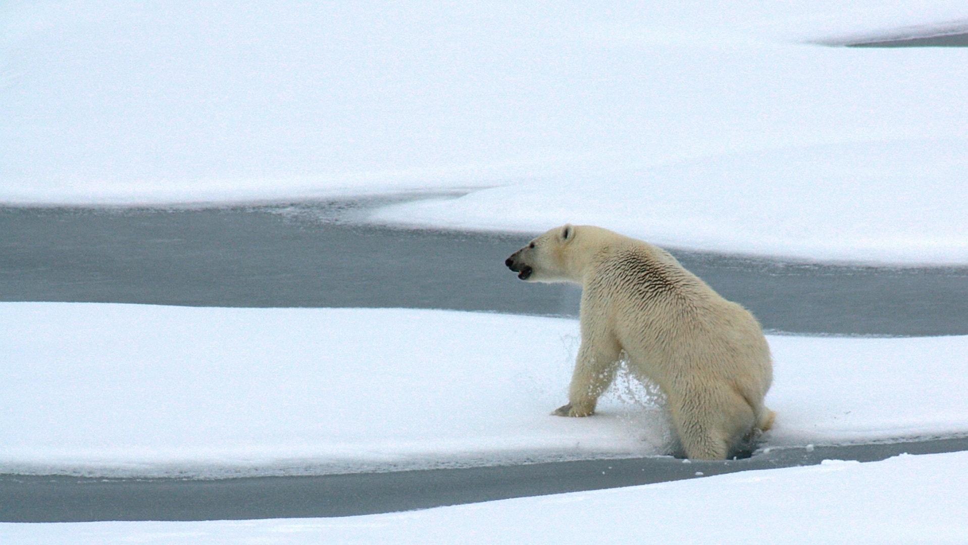 In kalten Wintern schwimmen die Eisbären bis nach Island.