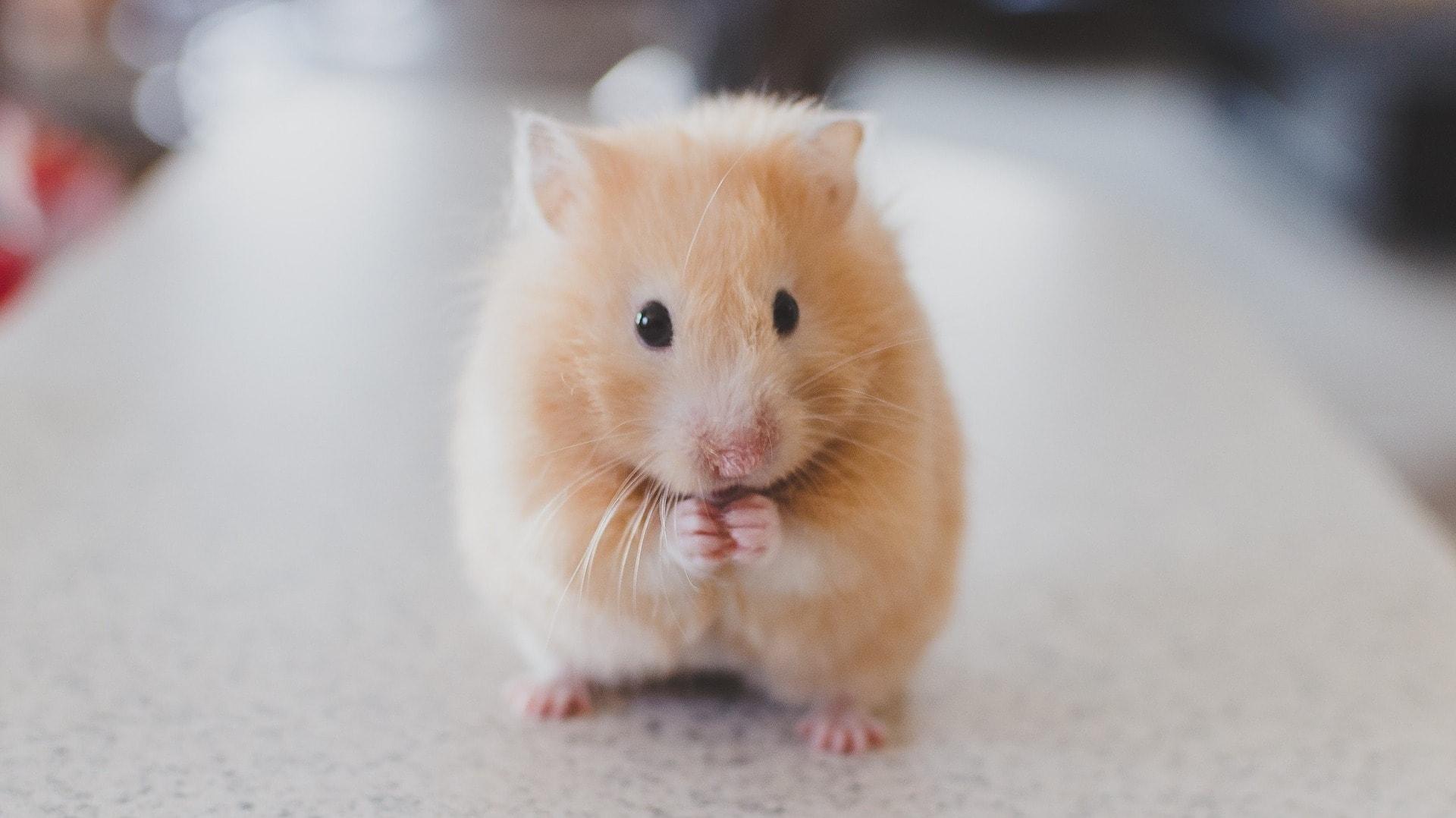 Ein Hamster-Penis ist der kleinste Penis im Phallusmuseum in Island.