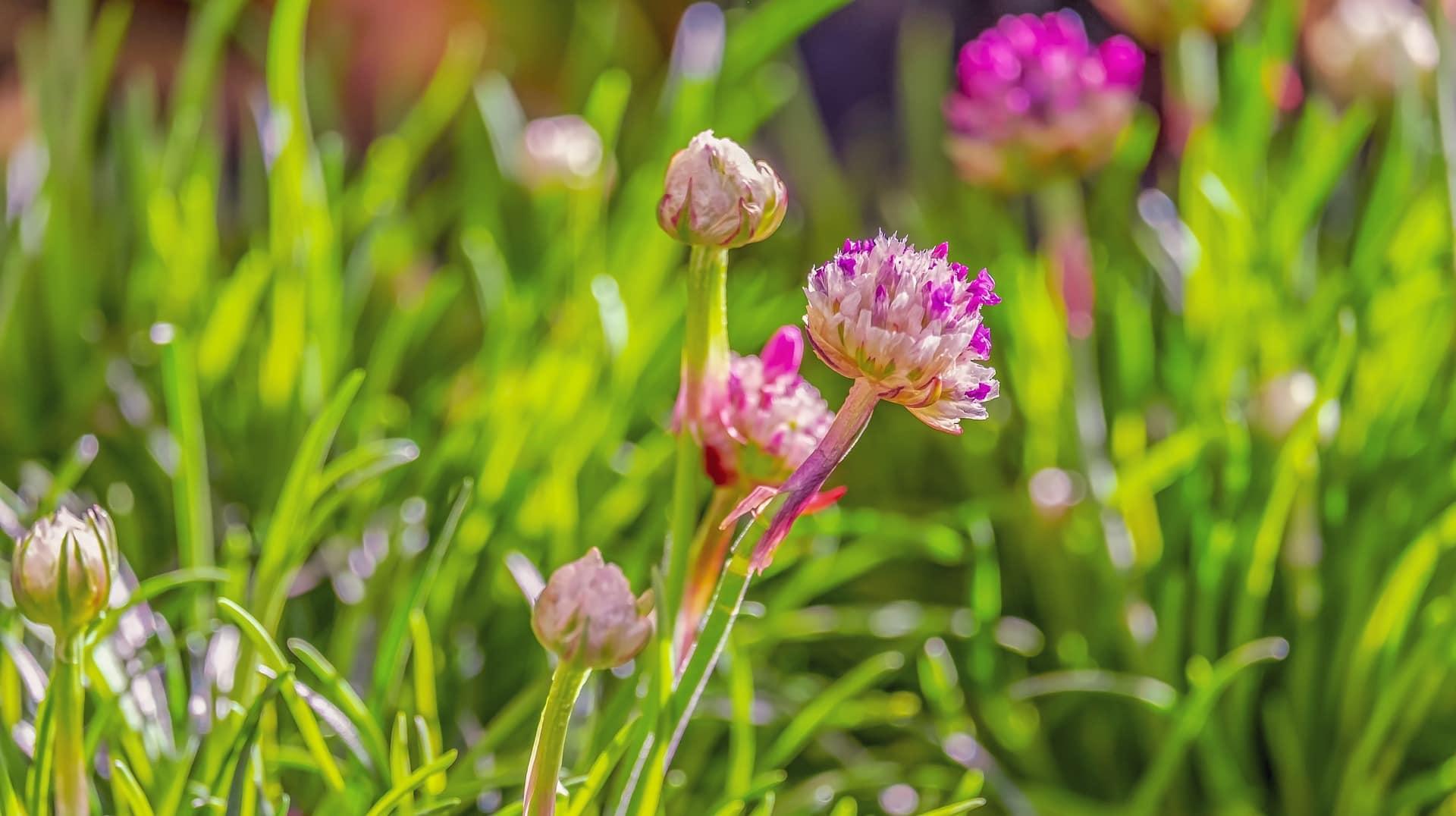 Blühender Schnittlauch im Kräutergarten
