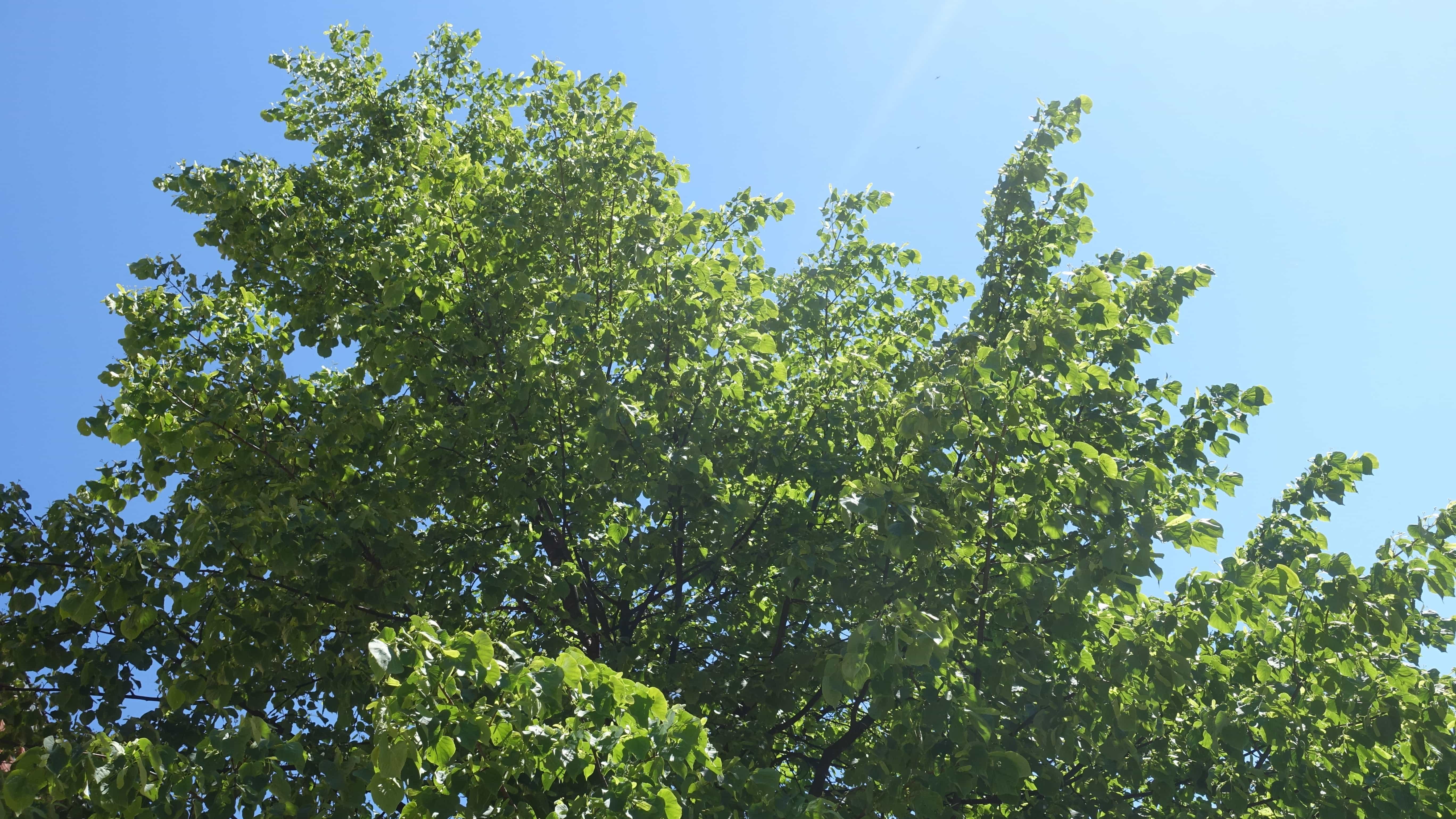 In Umeå schlagen die Birken erst im Mai aus